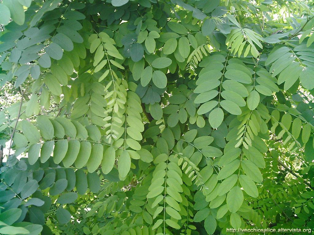Acacia per nido for Acacia albero